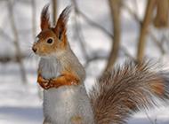 雪地里的可爱小松鼠图片