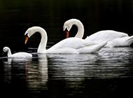 美丽的白天鹅一家超清图片