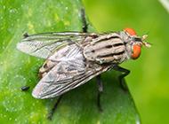 常见的苍蝇高清图片素材