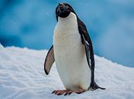 雪地里可爱的企鹅图片