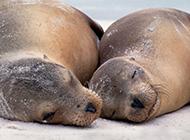 睡觉的动物小海狮图片