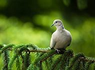 树枝上可爱的鸽子图片