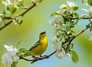 春天黄鹂鸟梨花树风景图片壁纸