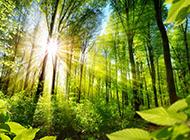 阳光下的绿色树林风景图片