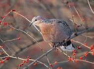 树枝上的斑鸠鸟高清图片