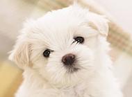 呆萌可爱白色狗狗壁纸图片