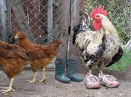 动物搞笑图片之穿鞋子的公鸡