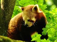 大自然森林里可爱的小浣熊图片