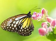 唯美的蝴蝶图片欣赏