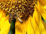 蜜蜂采蜜的超清特写图片