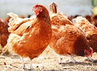 农场下蛋的母鸡高清图片