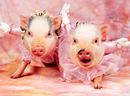 爱美的小猪动物搞笑趣图