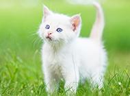草地玩耍的纯白色猫咪图片