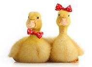 可爱的黄色小鸭子图片