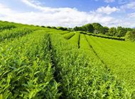 春天的绿色茶园风光图片