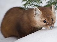 可爱的松貂动物高清图片