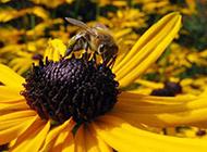 花朵上勤劳的蜜蜂图片