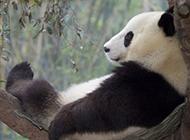 树枝上休憩的国宝大熊猫图片