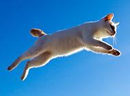 跳跃的白色猫咪壁纸图片