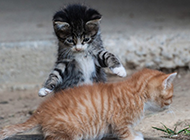 两只可爱的猫咪玩耍图片