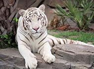 霸气的老虎高清图片欣赏