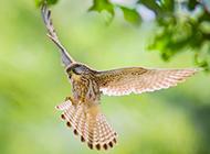 飞翔的红隼鸟高清图片