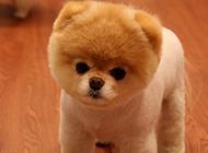 可爱超萌的博美犬摄影图片