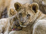 眼神犀利专注的小狮子壁纸
