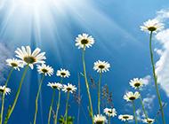 阳光下的白色野菊花图片