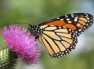 蝴蝶采蜜唯美小清新锁屏壁纸