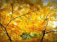 秋天的唯美枫叶风景壁纸