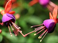吊钟海棠花卉护眼壁纸