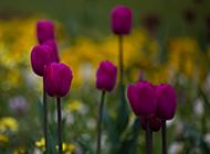 初春娇媚紫色郁金香花卉壁纸