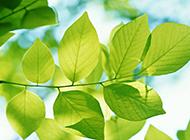 小清新初春树叶绿色护眼壁纸