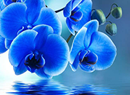 蓝色的蝴蝶兰ppt背景图片
