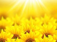 阳光下的向日葵高清背景图片