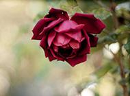 一朵唯美的红玫瑰花图片