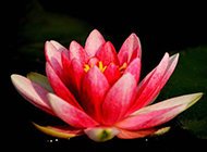 池塘里的一朵红莲花图片