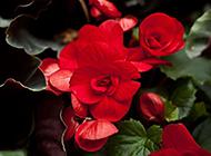 红艳娇媚的海棠花摄影图