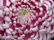 含苞待放的唯美粉菊花图