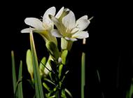 野生白色兰花微距特写图片