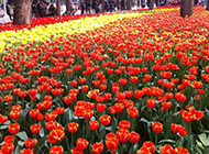 公园的多彩郁金香图片