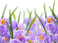 素雅清新的紫色鲜花背景素材