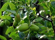 树上挂着的青枣子图片