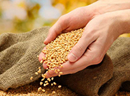 秋天成熟的麦子图片