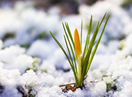 雪中的一棵孤独小草图片