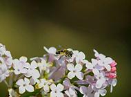 盛开的白色苦丁香花朵图片