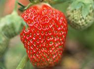 草地里成熟的红草莓图片