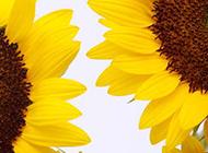 金黄色简约向日葵竖图素