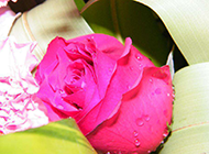 超漂亮的玫瑰花高清摄影图片